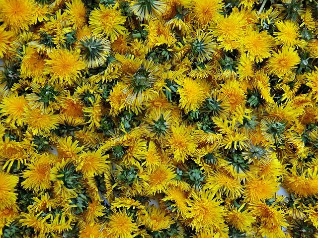 květy pampelišky.jpg